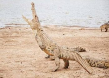Αυτός είναι ο πιο τρομακτικός κροκόδειλος!