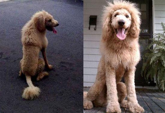 Ο σκύλος που έμοιαζε με λιοντάρι και σκόρπισε τον τρόμο!